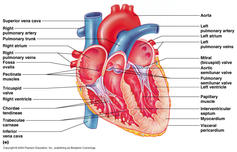 internal-heart-anatomy-11-3